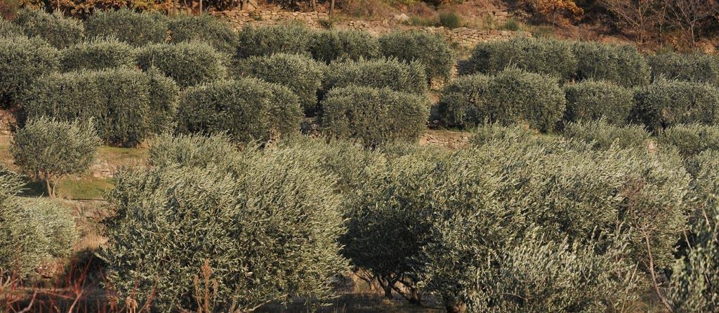 Beaux oliviers aux Salces, ayant repoussé de leurs souches vivaces depuis les terribles gelées de 1956. On ne peut savoir d'ici si leur culture est biologique.