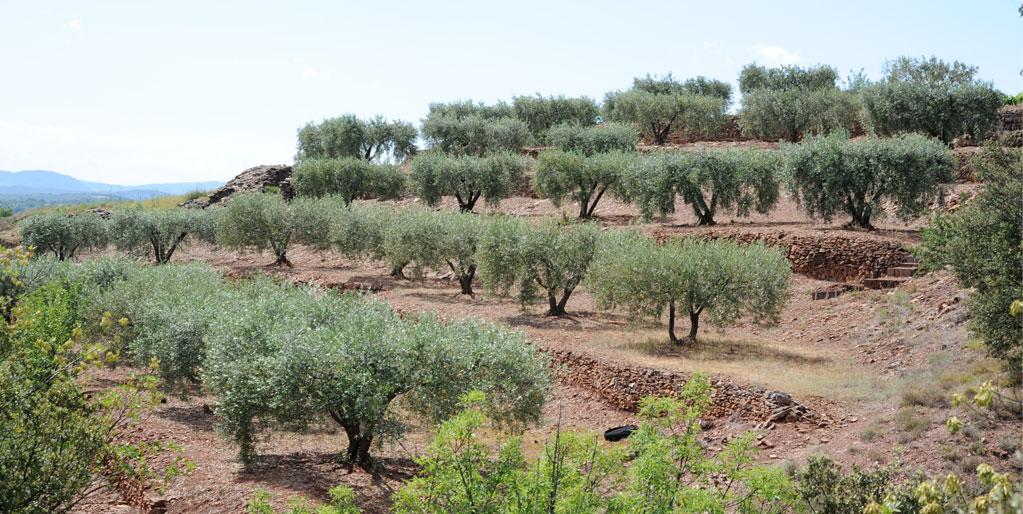 Dans le département, c'est bien dans le Centre Hérault que s'exposent les plus belles oliveraies, dans la plaine, oùu comme ici sur des terrasses de culture richement colorées.