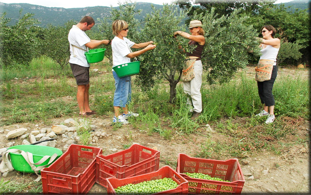 De toutes les opérations appliquées à l'arbre symbolique, la cueillette est la plus longue et dure de longs mois.