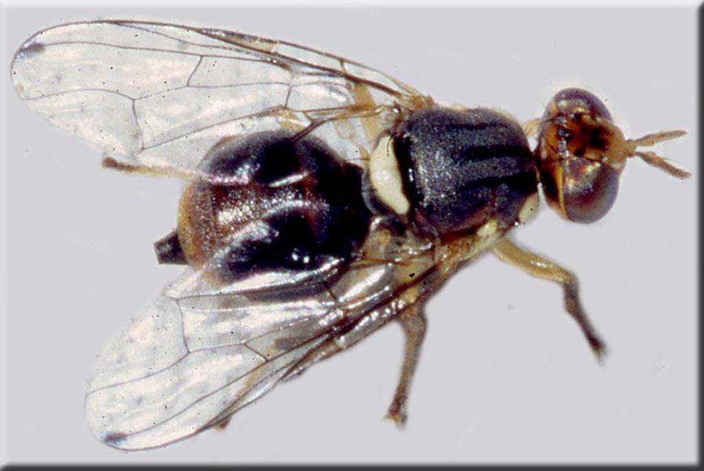 La larve de la mouche de l'Olivier, Dacus oleae (5-8mm), pique la pulpe des olives et occasionne périodiquement des dégâts, comme le gel et bien d'autres agressions.
