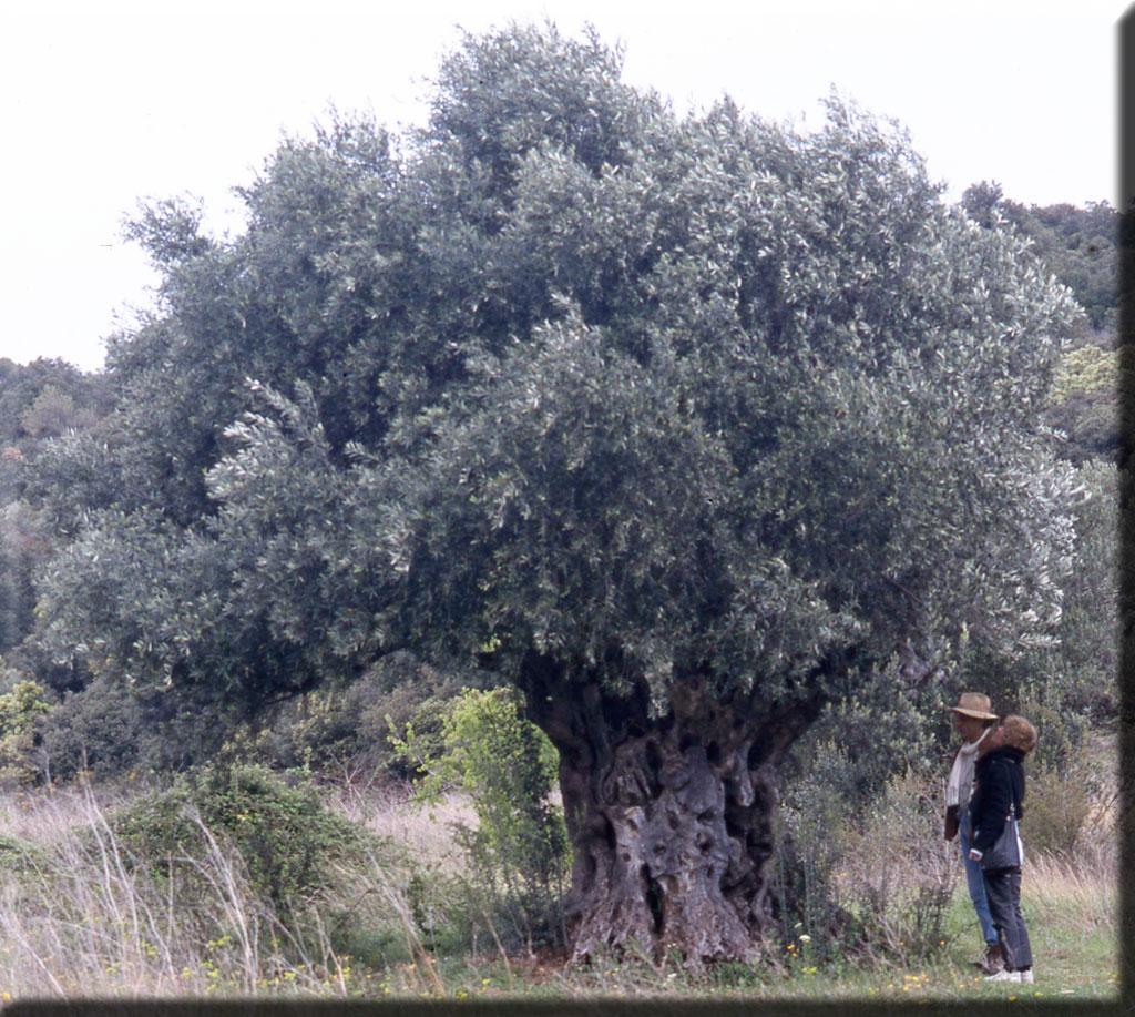 Voici le plus viel olivier de l'Hérault, près de Montpeyroux, au tronc milénaire vénérable.