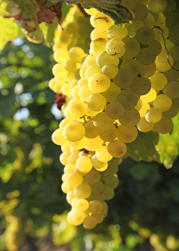 Le raisin (Totum) et les grenades sont l'objet de nombreuses recherches de pointe au Jardin d'Escoubilles.