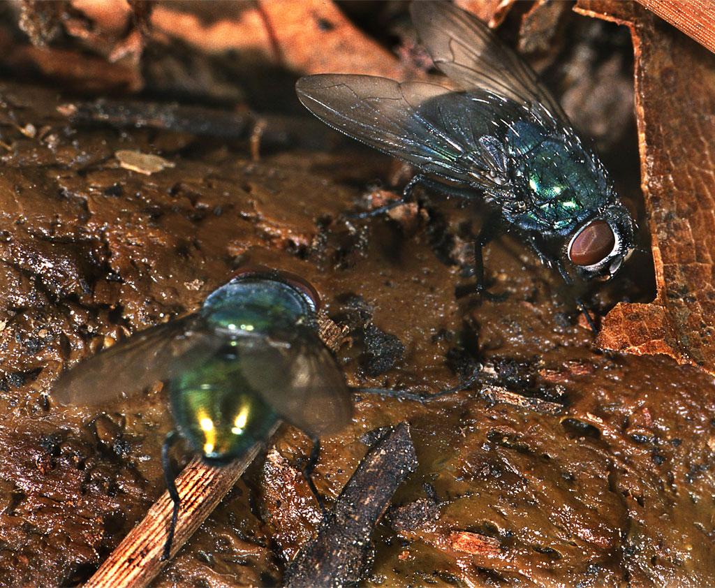 Les mouches décomposent